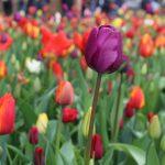 Holland: #ichliebeTulpen