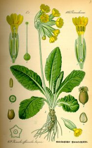 Bild1_Illustration_Primula_veris